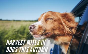 Harvest Mites In Dogs